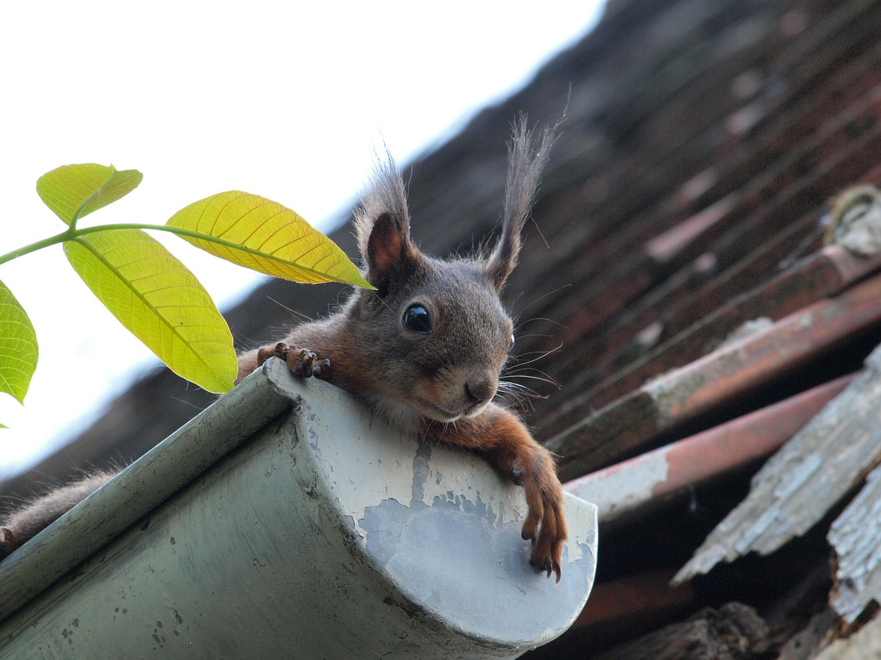 squirrel-in-gutter